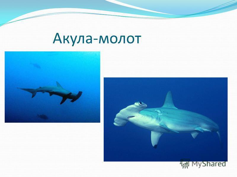 Бесплатно скачать презентацию по биологии 7 класс на тему акулы