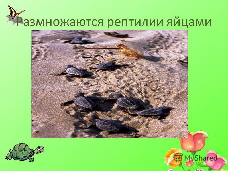 Размножаются рептилии яйцами