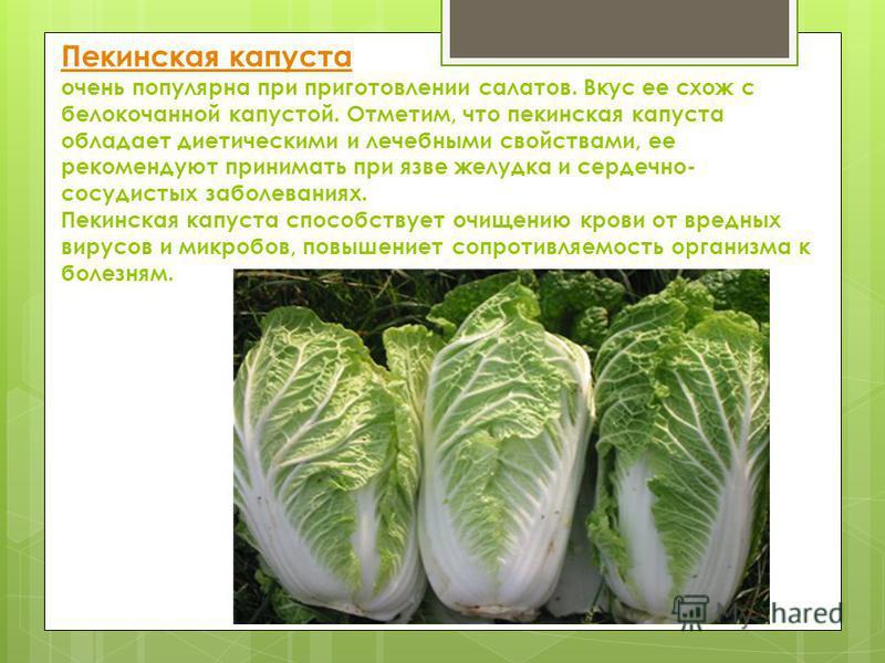 Пекинская капуста Пекинская капуста очень популярна при приготовлении салатов. Вкус ее схож с белокочанной капустой. Отметим, что пекинская капуста обладает диетическими и лечебными свойствами, ее рекомендуют принимать при язве желудка и сердечно- со