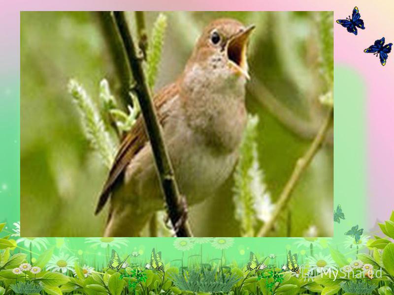 Настолько здорово поёт, Что каждый сразу узнаёт. А с виду – маленькая птичка: Невзрачная и невеличка. Но, запоёт – дыши ровней, Чтоб не вспугнуть… Он - Отгадайте загадку: сооовей.