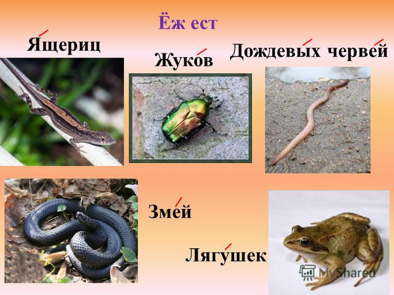 Ёж ест Ящериц Жуков Лягушек Дождевых червей Змей