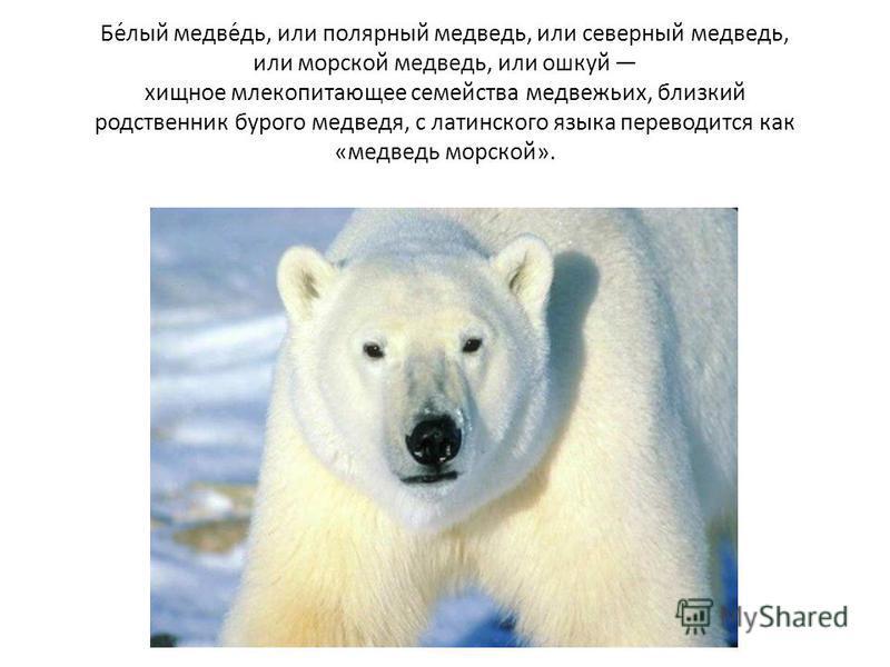 Бе́лый медведо́до, или полярный медведодо, или северный медведодо, или морской медведодо, или ушкуй хищное млекопитающее семейства медведожьих, близкий родственник бурого медведодя, с латинского языка переводится как «медведодо морской».