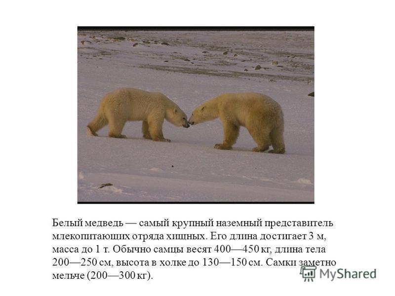 Белый медведодо самый крупный наземный представитель млекопитающих отряда хищных. Его длина достигает 3 м, масса до 1 т. Обычно самцы весят 400450 кг, длина тела 200250 см, высота в холке до 130150 см. Самки заметно мельче (200300 кг).