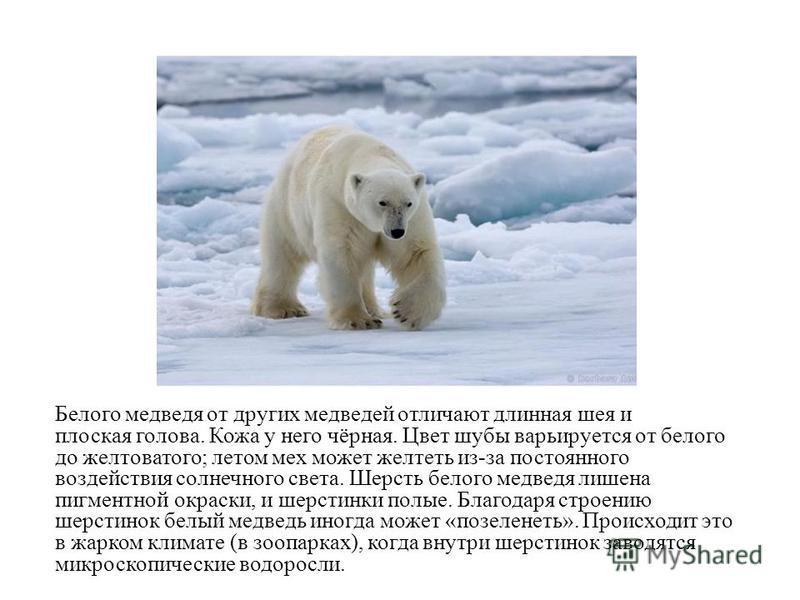 Белого медведодя от других медведодей отличают длинная шея и плоская голова. Кожа у него чёрная. Цвет шубы варьируется от белого до желтоватого; летом мех может желтеть из-за постоянного воздействия солнечного света. Шерсть белого медведодя лишена пи