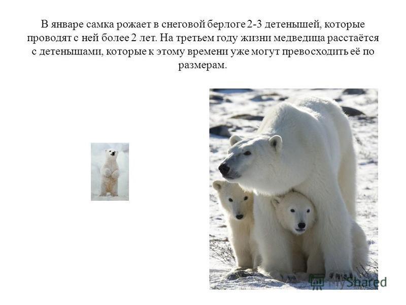 В январе самка рожает в снеговой берлоге 2-3 детенышей, которые проводят с ней более 2 лет. На третьем году жизни медведодица расстаётся с детенышами, которые к этому времени уже могут превосходить её по размерам.