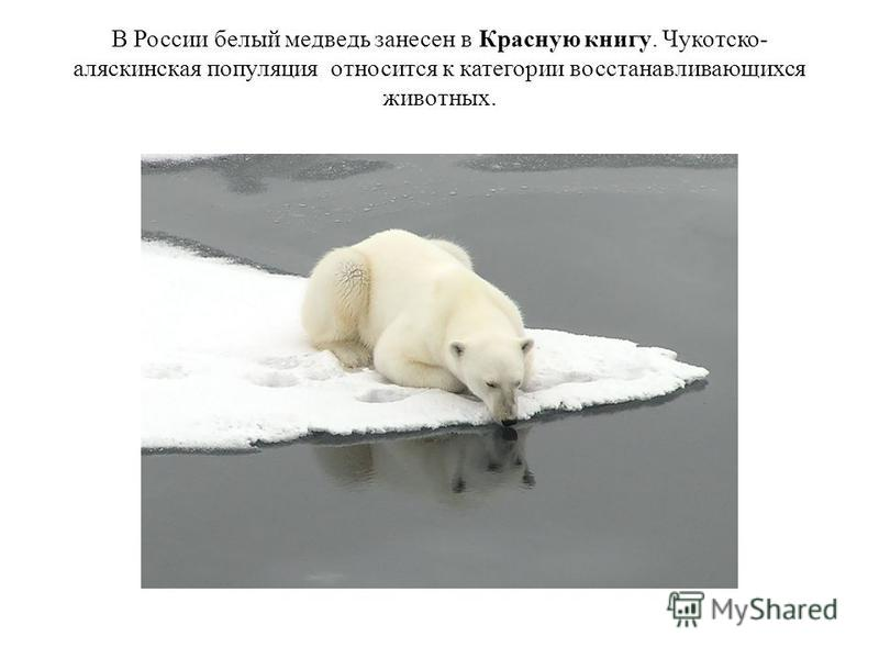 В России белый медведодо занесен в Красную книгу. Чукотско- аляскинская популяция относится к категории восстанавливающихся животных.