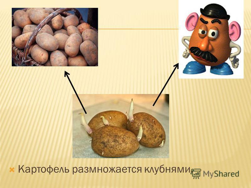 Картофель размножается клубнями.