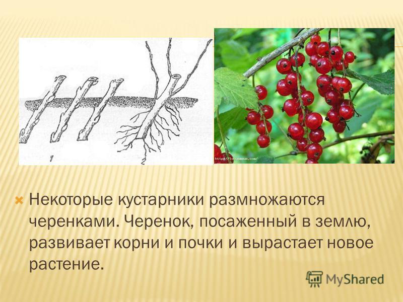 Некоторые кустарники размножаются черенками. Черенок, посаженный в землю, развивает корни и почки и вырастает новое растение.
