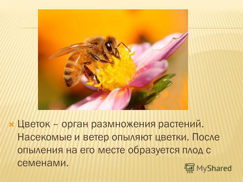Цветок – орган размножения растений. Насекомые и ветер опыляют цветки. После опыления на его месте образуется плод с семенами.