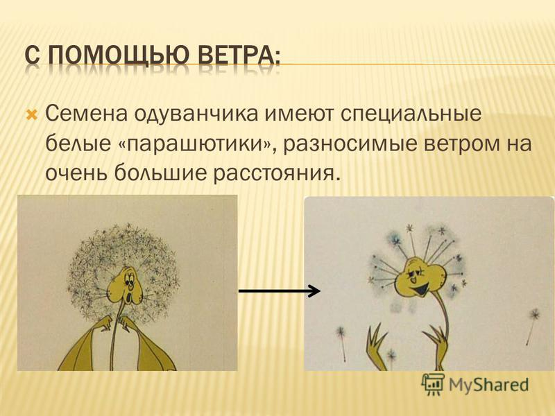 Семена одуванчика имеют специальные белые «парашютики», разносимые ветром на очень большие расстояния.