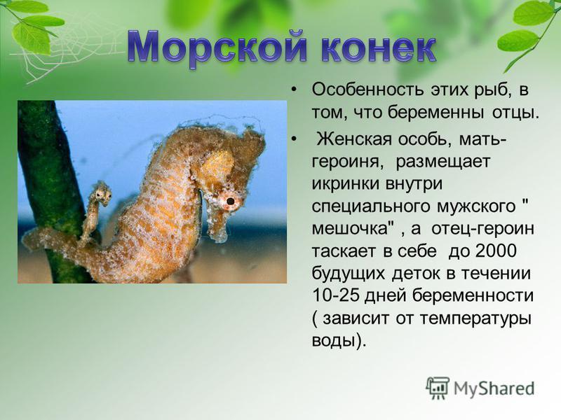 Особенность этих рыб, в том, что беременны отцы. Женская особь, мать- героиня, размещает икринки внутри специального мужского