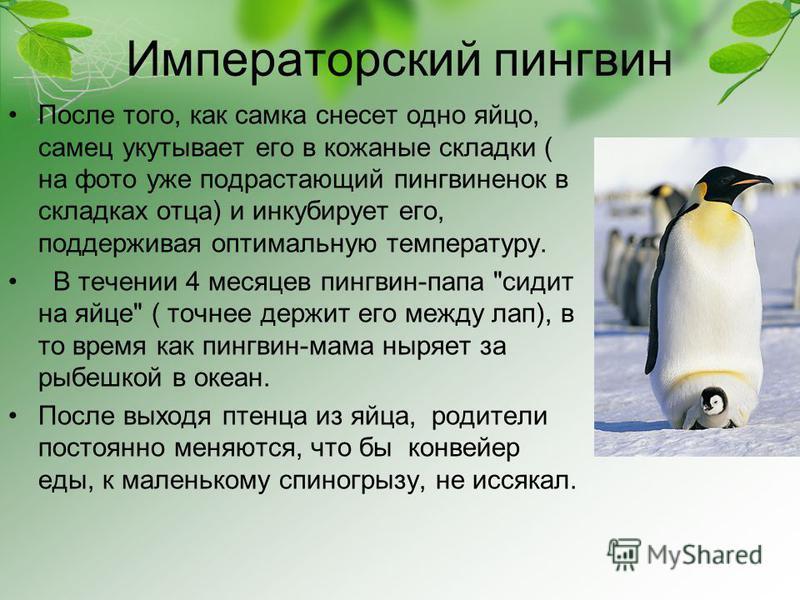 Императорский пингвин После того, как самка снесет одно яйцо, самец укутывает его в кожаные складки ( на фото уже подрастающий пингвиненок в складках отца) и инкубирует его, поддерживая оптимальную температуру. В течении 4 месяцев пингвин-папа