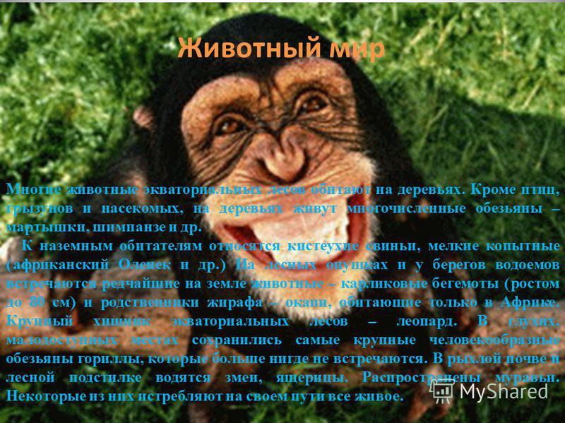 Животный мир Многие животные экваториальных лесов обитают на деревьях. Кроме птиц, грызунов и насекомых, на деревьях живут многочисленные обезьяны – мартышки, шимпанзе и др. К наземным обитателям относятся кистеухие свиньи, мелкие копытные ( африканс