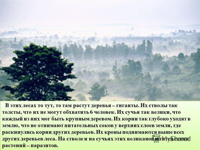 « В этих лесах то тут, то там растут деревья – гиганты. Их стволы так толсты, что их не могут обхватить 6 человек. Их сучья так велики, что каждый из них мог быть крупным деревом. Их корни так глубоко уходят в землю, что не отнимают питательных соков