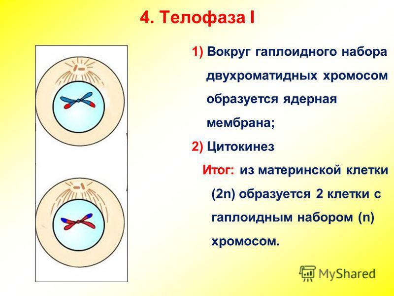 Телофаза