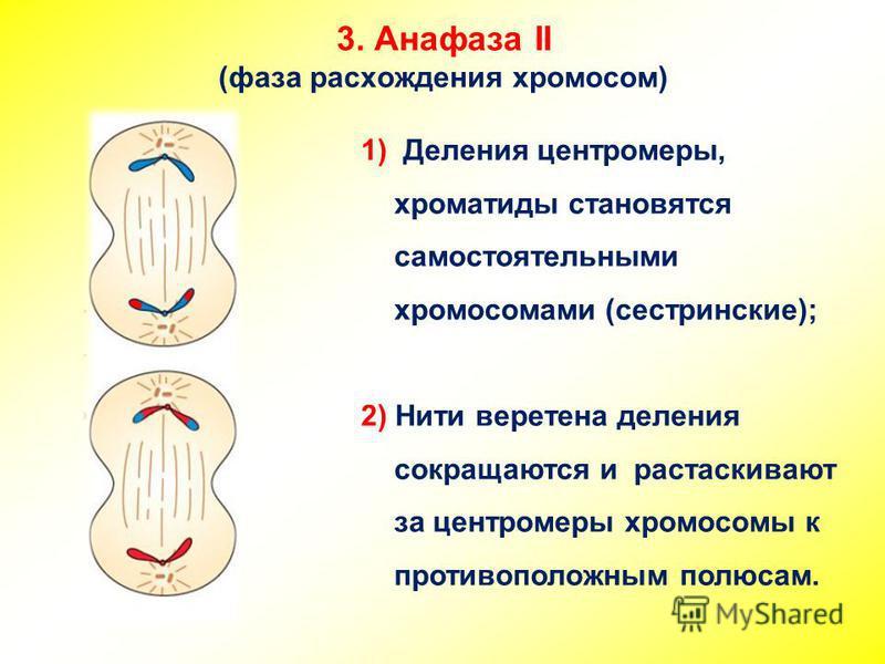 3. Анафаза II (фаза расхождения хромосом) 1) Деления центромеры, хроматиды становятся самостоятельными хромосомами (сестринские); 2) Нити веретена деления сокращаются и растаскивают за центромеры хромосомы к противоположным полюсам.