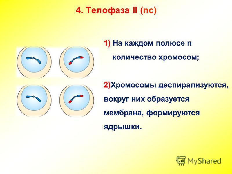 4. Телофаза II (nc) 1) На каждом полюсе n количество хромосом; 2)Хромосомы деспирализуются, вокруг них образуется мембрана, формируются ядрышки.