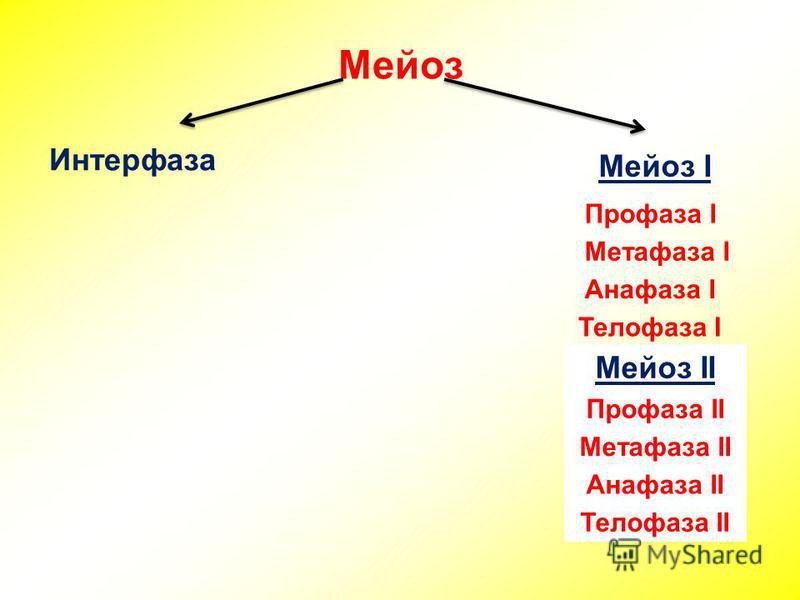 Мейоз Интерфаза Мейоз I Профаза I Метафаза I Анафаза I Телофаза I Мейоз II Профаза II Метафаза II Анафаза II Телофаза II