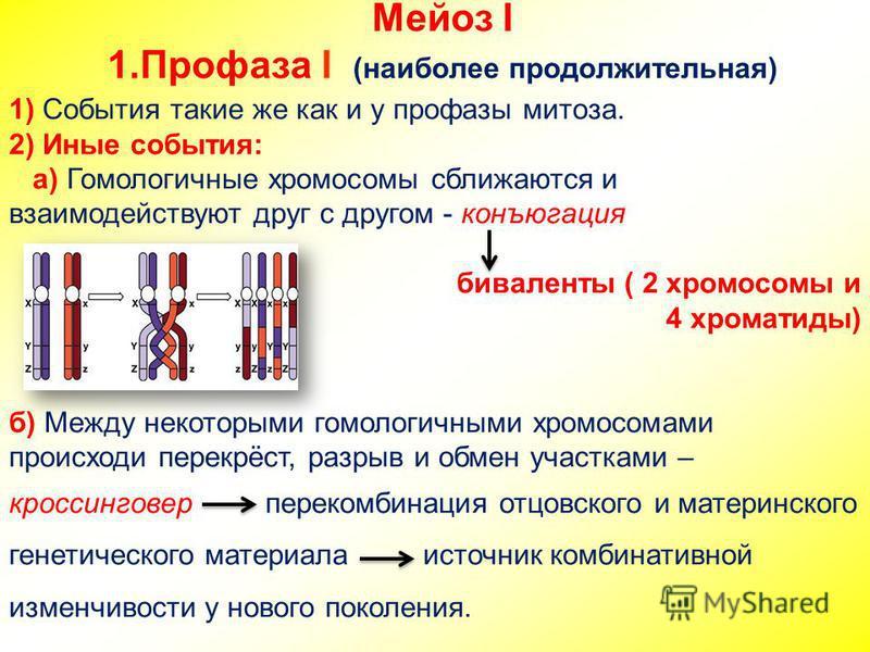 Мейоз I 1. Профаза I (наиболее продолжительная) 1) События такие же как и у профазы митоза. 2) Иные события: а) Гомологичные хромосомы сближаются и взаимодействуют друг с другом - конъюгация биваленты ( 2 хромосомы и 4 хроматиды) б) Между некоторыми