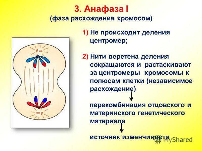 3. Анафаза I (фаза расхождения хромосом) 1) Не происходит деления центромер; 2) Нити веретена деления сокращаются и растаскивают за центромеры хромосомы к полюсам клетки (независимое расхождение) перекомбинация отцовского и материнского генетического