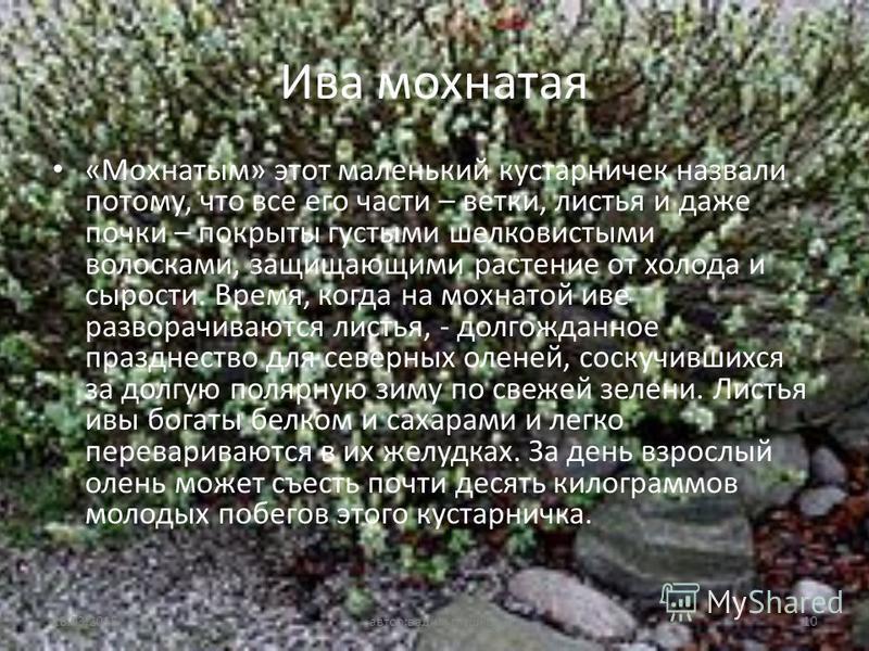 Ива мохнатая «Мохнатым» этот маленький кустарничек назвали потому, что все его части – ветки, листья и даже почки – покрыты густыми шелковистыми волосками, защищающими растение от холода и сырости. Время, когда на мохнатой иве разворачиваются листья,