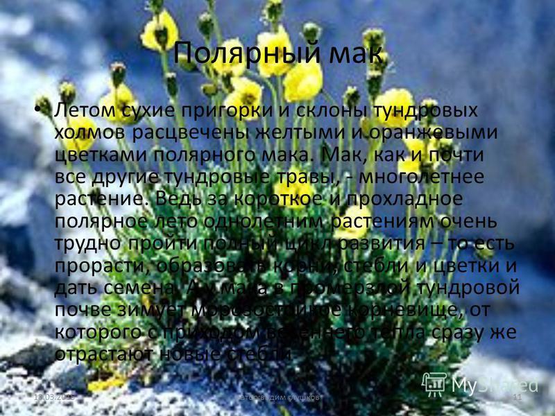 Полярный мак Летом сухие пригорки и склоны тундровых холмов расцвечены желтыми и оранжевыми цветками полярного мака. Мак, как и почти все другие тундровые травы, - многолетнее растение. Ведь за короткое и прохладное полярное лето однолетним растениям