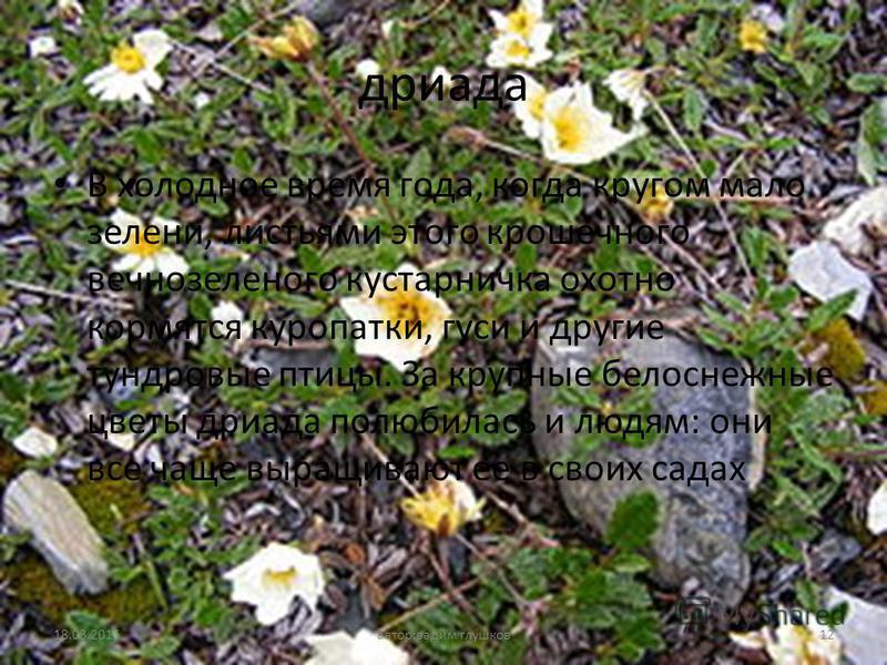 дриада В холодное время года, когда кругом мало зелени, листьями этого крошечного вечнозеленого кустарничка охотно кормятся куропатки, гуси и другие тундровые птицы. За крупные белоснежные цветы дриада полюбилась и людям: они все чаще выращивают ее в