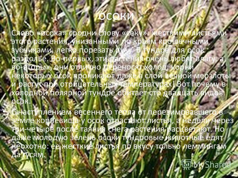 осоки Слово «осока» сродни слову «секу»: жесткими листьями этого растения, унизанными по краям крошечными зубчиками, легко порезать руку. В тундре для осок раздолье. Во-первых, эти растения очень любят влагу, а во-вторых, они отлично переносят холод: