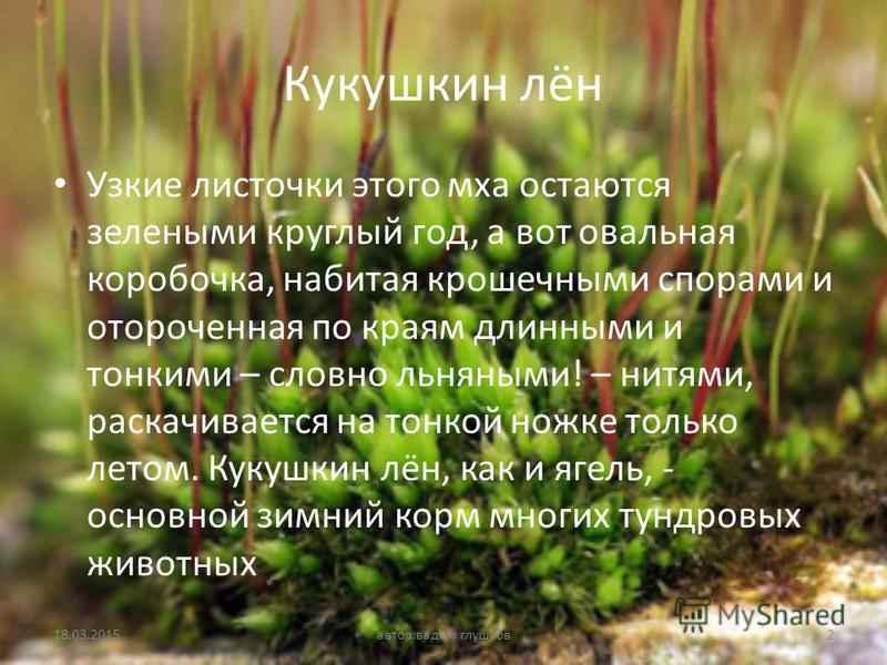 Кукушкин лён Узкие листочки этого мха остаются зелеными круглый год, а вот овальная коробочка, набитая крошечными спорами и отороченная по краям длинными и тонкими – словно льняными! – нитями, раскачивается на тонкой ножке только летом. Кукушкин лён,