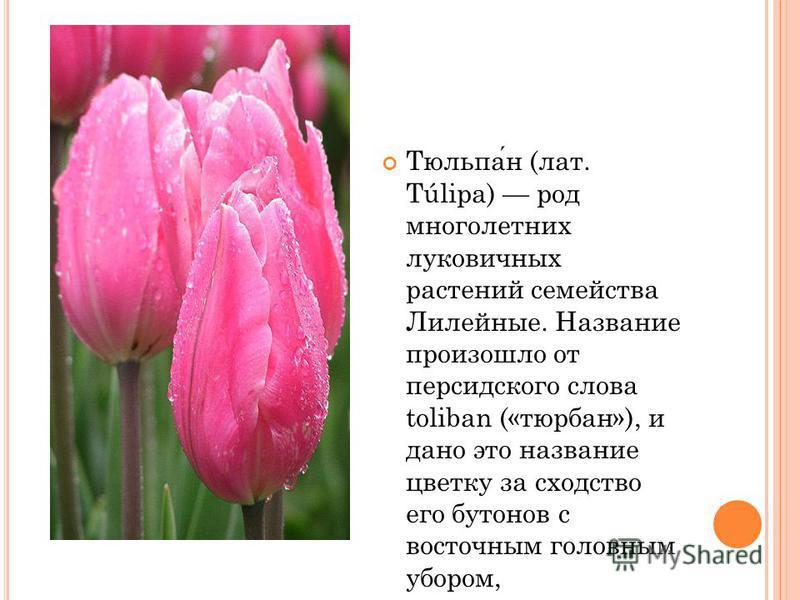 Тюльпан (лат. Túlipa) род многолетних луковичных растений семейства Лилейные. Название произошло от персидского слова toliban («тюрбан»), и дано это название цветку за сходство его бутонов с восточным головным убором, напоминавшим чалму.