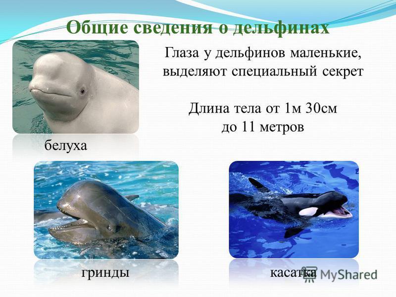 Общие сведения о дельфинах Глаза у дельфинов маленькие, выделяют специальный секрет Длина тела от 1 м 30 см до 11 метров белуха касатка гринды