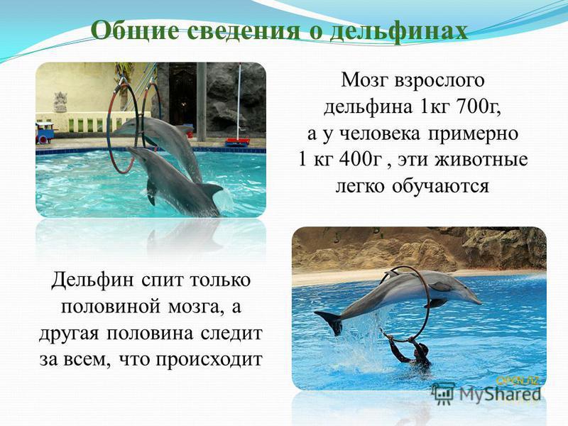Общие сведения о дельфинах Мозг взрослого дельфина 1 кг 700 г, а у человека примерно 1 кг 400 г, эти животные легко обучаются Дельфин спит только половиной мозга, а другая половина следит за всем, что происходит