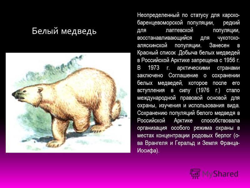 Белый медведь Неопределенный по статусу для карско- баренцевоморской популяции, редкий для лаптевской популяции, восстанавливающийся для чукотско- аляскинской популяции. Занесен в Красный список.Добыча белых медведей в Российской Арктике запрещена с