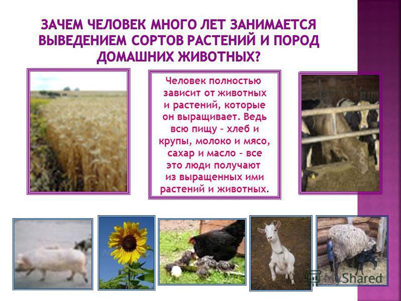 Человек полностью зависит от животных и растений, которые он выращивает. Ведь всю пищу – хлеб и крупы, молоко и мясо, сахар и масло – все это люди получают из выращенных ими растений и животных. Человек полностью зависит от животных и растений, котор