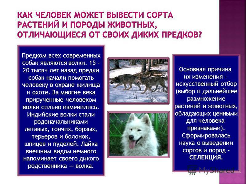 Предком всех современных собак являются волки. 15 - 20 тысяч лет назад предки собак начали помогать человеку в охране жилища и охоте. За многие века прирученные человеком волки сильно изменились. Индийские волки стали родоначальниками легавых, гончих