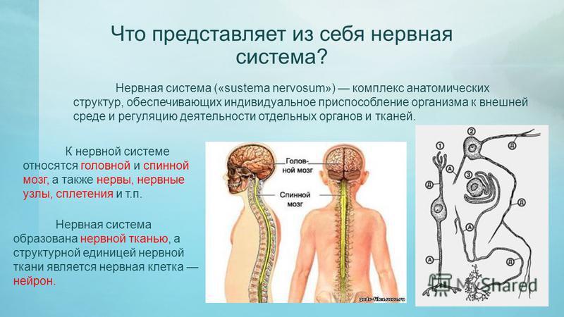 Что представляет из себя нервная система? Нервная система («sustema nervosum») комплекс анатомических структур, обеспечивающих индивидуальное приспособление организма к внешней среде и регуляцию деятельности отдельных органов и тканей. К нервной сист