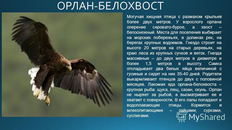 Могучая хищная птица с размахом крыльев более двух метров. У взрослого орлана оперение серовато-бурое, а хвост – белоснежный. Места для поселения выбирает на морских побережьях, в долинах рек, на берегах крупных водоемов. Гнездо строит на высоте 20 м