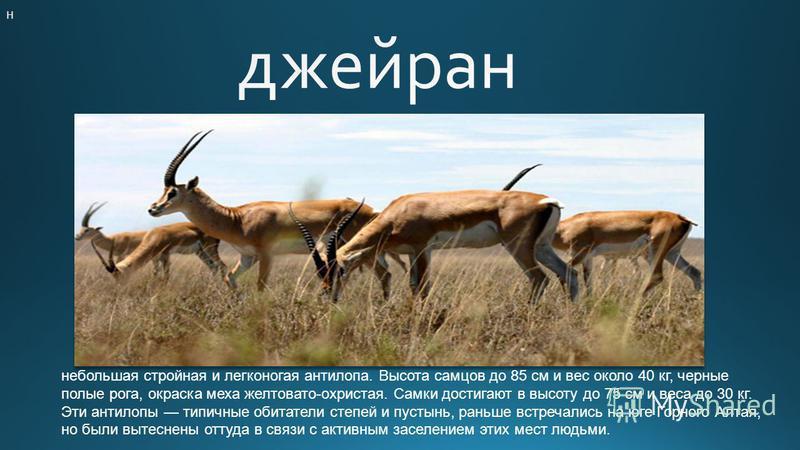 Н небольшая стройная и легконогая антилопа. Высота самцов до 85 см и вес около 40 кг, черные полые рога, окраска меха желтовато-охристая. Самки достигают в высоту до 75 см и веса до 30 кг. Эти антилопы типичные обитатели степей и пустынь, раньше встр