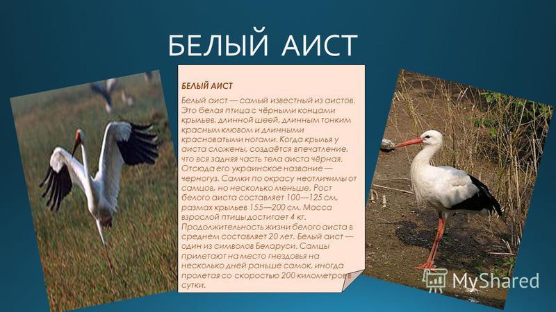 БЕЛЫЙ АИСТ Белый аист самый известный из аистов. Это белая птица с чёрными концами крыльев, длинной шеей, длинным тонким красным клювом и длинными красноватыми ногами. Когда крылья у аиста сложены, создаётся впечатление, что вся задняя часть тела аис