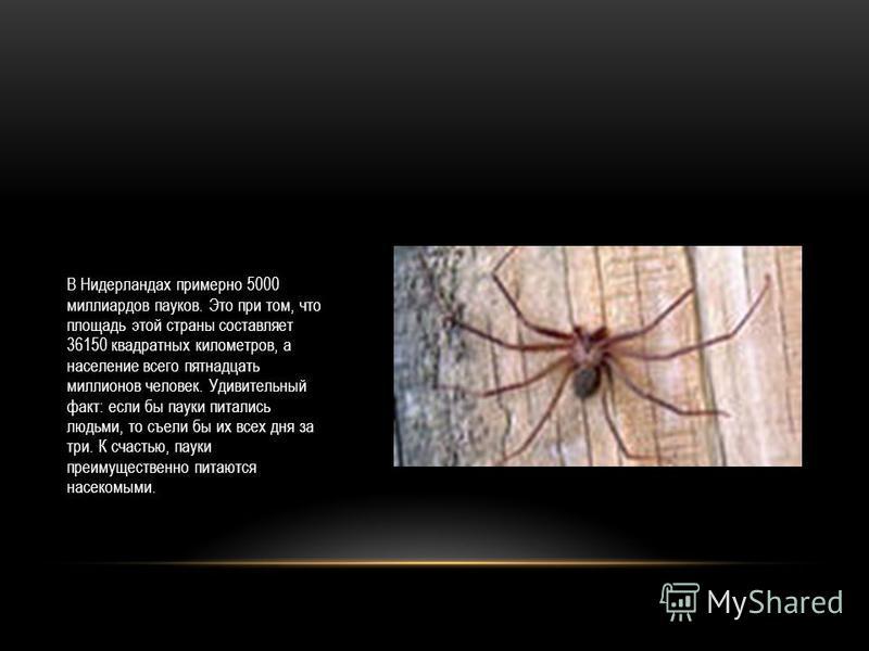 В Нидерландах примерно 5000 миллиардов пауков. Это при том, что площадь этой страны составляет 36150 квадратных километров, а население всего пятнадцать миллионов человек. Удивительный факт: если бы пауки питались людьми, то съели бы их всех дня за т