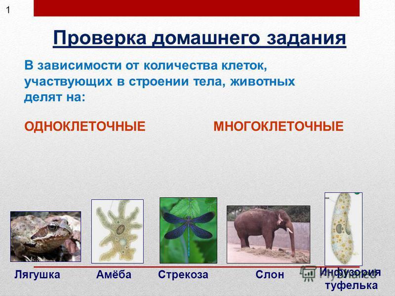 Проверка домашнего задания ОДНОКЛЕТОЧНЫЕМНОГОКЛЕТОЧНЫЕ В зависимости от количества клеток, участвующих в строении тела, животных делят на: Амёба Инфузория туфелька Лягушка Стрекоза Слон 1
