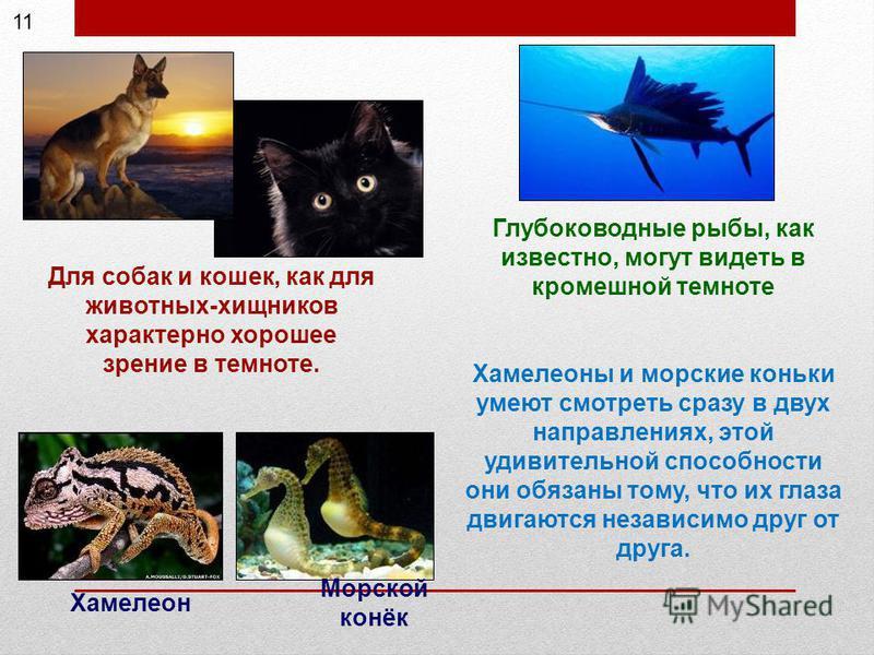 Для собак и кошек, как для животных-хищников характерно хорошее зрение в темноте. Глубоководные рыбы, как известно, могут видеть в кромешной темноте Хамелеоны и морские коньки умеют смотреть сразу в двух направлениях, этой удивительной способности он