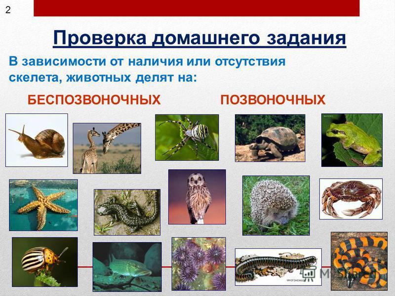 Проверка домашнего задания БЕСПОЗВОНОЧНЫХПОЗВОНОЧНЫХ В зависимости от наличия или отсутствия скелета, животных делят на: 2