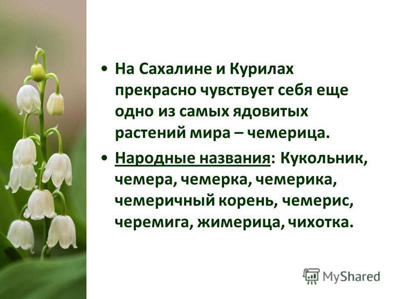 На Сахалине и Курилах прекрасно чувствует себя еще одно из самых ядовитых растений мира – чемерица. Народные названия: Кукольник, чемерица, семерка, чемерика, чемеричный корень, чемерис, черемига, жимерица, чихотка.