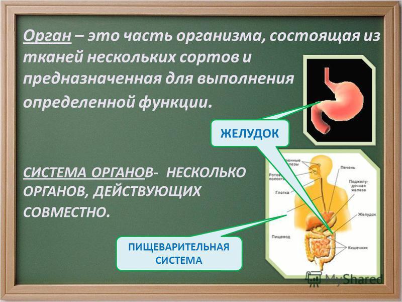 СИСТЕМА ОРГАНОВ- НЕСКОЛЬКО ОРГАНОВ, ДЕЙСТВУЮЩИХ СОВМЕСТНО. Орган – это часть организма, состоящая из тканей нескольких сортов и предназначенная для выполнения определенной функции. ПИЩЕВАРИТЕЛЬНАЯ СИСТЕМА ЖЕЛУДОК