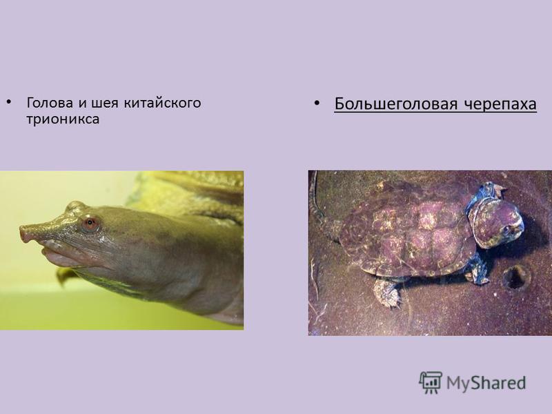 Голова и шея китайского трионикса Большеголовая черепаха