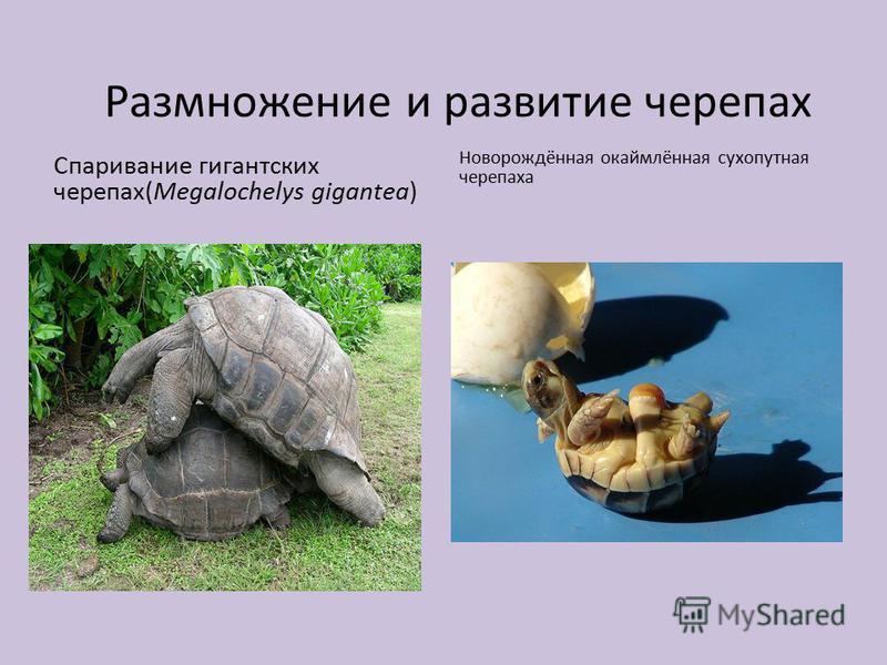 Размножение и развитие черепах Спаривание гигантских черепах(Megalochelys gigantea) Новорождённая окаймлённая сухопутная черепаха