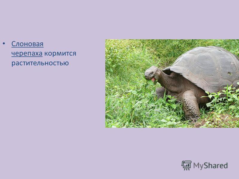 Слоновая черепаха кормится растительностью