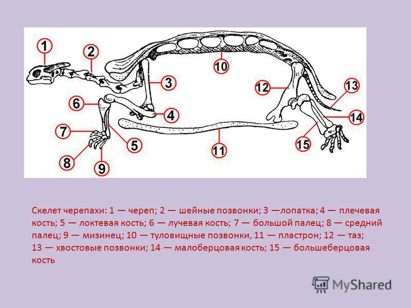 Скелет черепахи: 1 череп; 2 шейные позвонки; 3 лопатка; 4 плечевая кость; 5 локтевая кость; 6 лучевая кость; 7 большой палец; 8 средний палец; 9 мизинец; 10 туловищные позвонки, 11 пластрон; 12 таз; 13 хвостовые позвонки; 14 малоберцовая кость; 15 бо