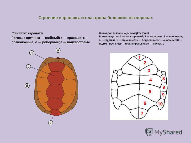 Строение карапакса и пластрона большинства черепах Карапакс черепахи Роговые щитки: a шейный; b краевые; c позвоночные; d рёберные; e надхвостовые Пластрон зелёной черепахи (Chelonia) Роговые щитки: 1 меж горловой; 2 горловые; 3 плечевые; 4 грудные;